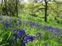 Bluebell walk on the farm