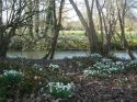 Snowdrops in the nearby Moot Gardens