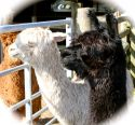 Coming to Croft Cottage in May - Delilah and Nora - Alpacas!