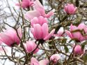 Magnolia campbellii March, Tregrehan Garden