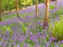 Bluebell woods at Perrycroft
