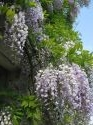 Wysteria in bloom