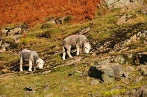 Herdwick sheep grazing on the hillside