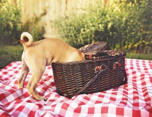 Dog with its head in the picnic basket on red and white blanket
