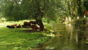 Cows taking shade by the river
