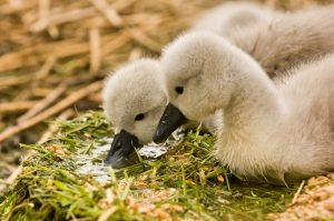 Two fluffy cygnets in reed nest