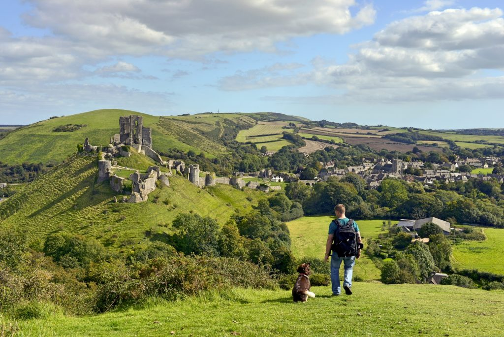 Man walking across the rolling green hills with Spaniel dog looking at Corfe Castle jutting out on the hill in front