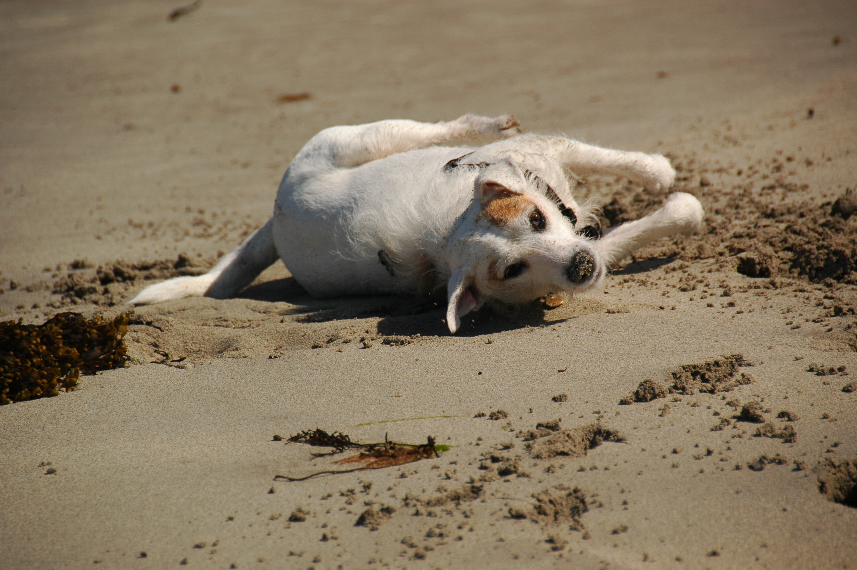 Dog rolling in the sand