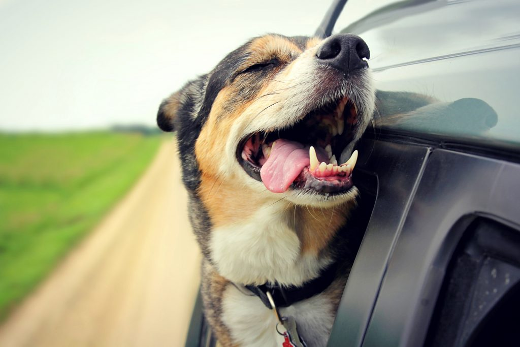 Dog leaning out of car window 'smiling' with tongue hanging out