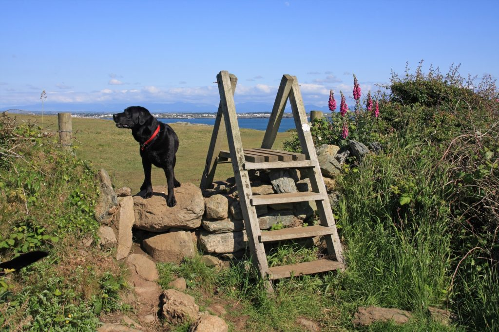 Dog standing on stone wall next to steps with sea in background & fox gloves to right