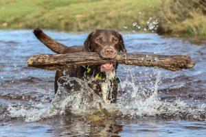 Brown labrador in river splashing around with big stick in mouth