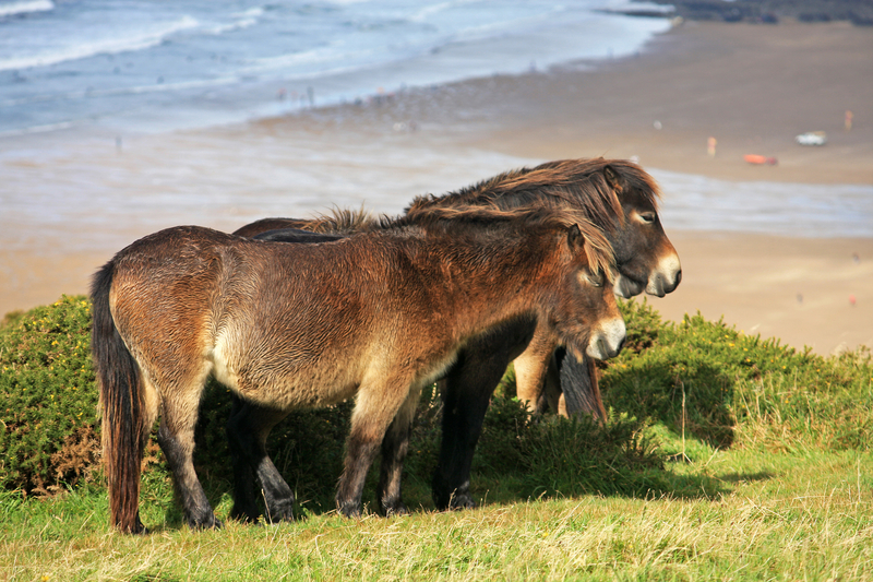 Three brown exmoor ponies dozing in the sun with the beach and sea behind