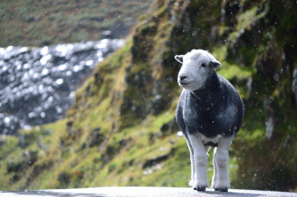 Herwick lamb standing on the road in the rain