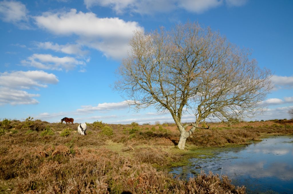 Two New Forest ponies grazing in the bracken with pond and tree to the right