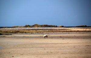 Sheep on sandy beach