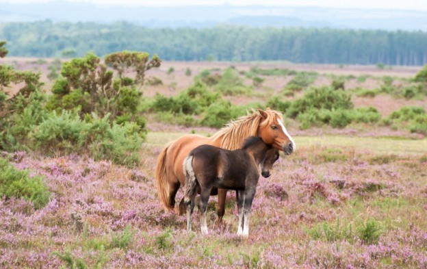 New Forest pony, mother and foal