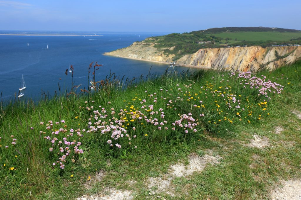 Pretty flowers on a grass verge, overlooking the water with white cliffs in the background