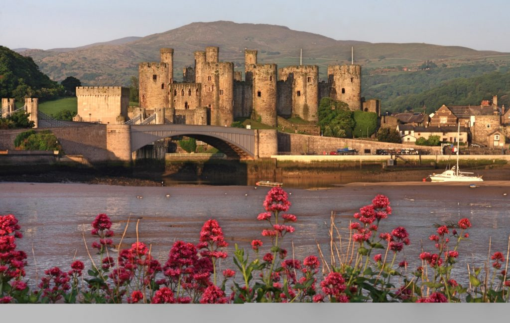 Looking through pink flowers over the water to Conwy Castle in the background with the sun setting on it