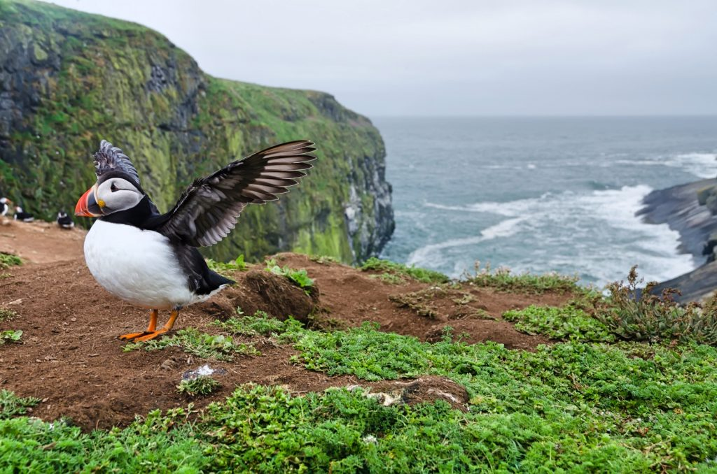 Puffin flapping his wings on the edge of a cliff with sea behind