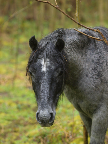 Head shot of new forest pony in the rain