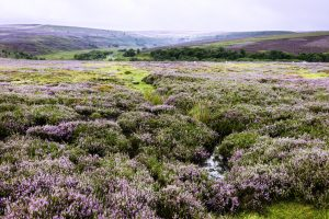 Rolling heather moorland as far as the eye can see with hills in the back ground