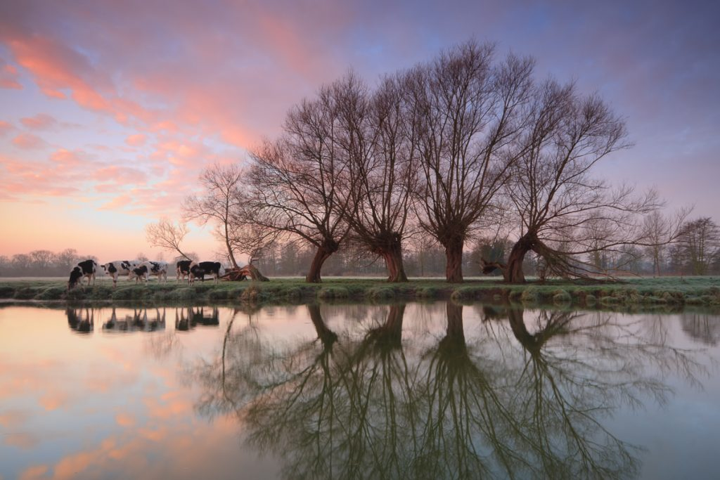 Five trees and cows - River Stour, Suffolk