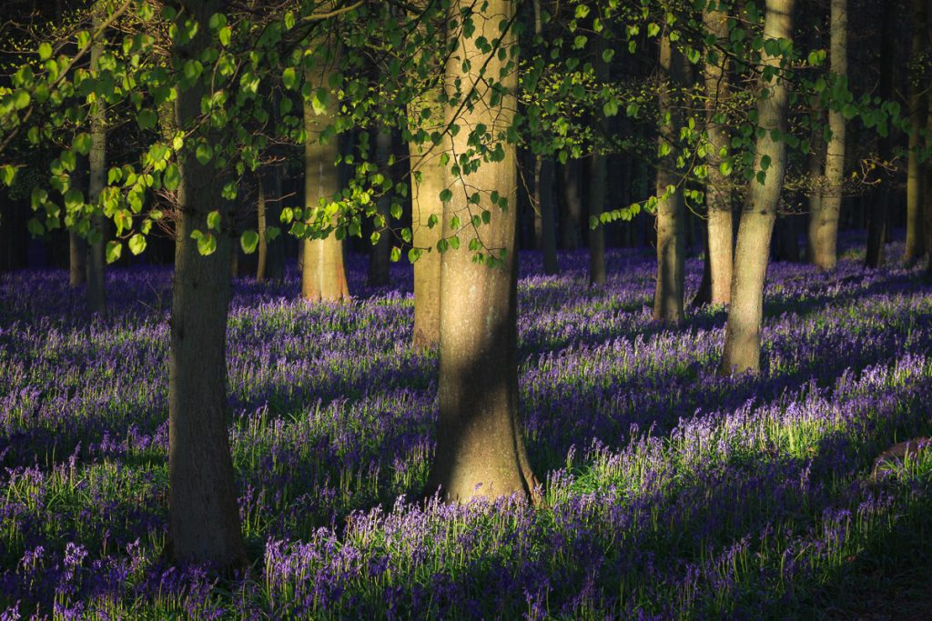 A carpet of bluebells under trees with light shining on the bark